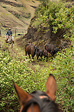 USA, Oregon, Joseph, Cowboy Todd Nash moves his cattle from the Wild Horse Drainage down to the canyon floor by Big Sheep Creek