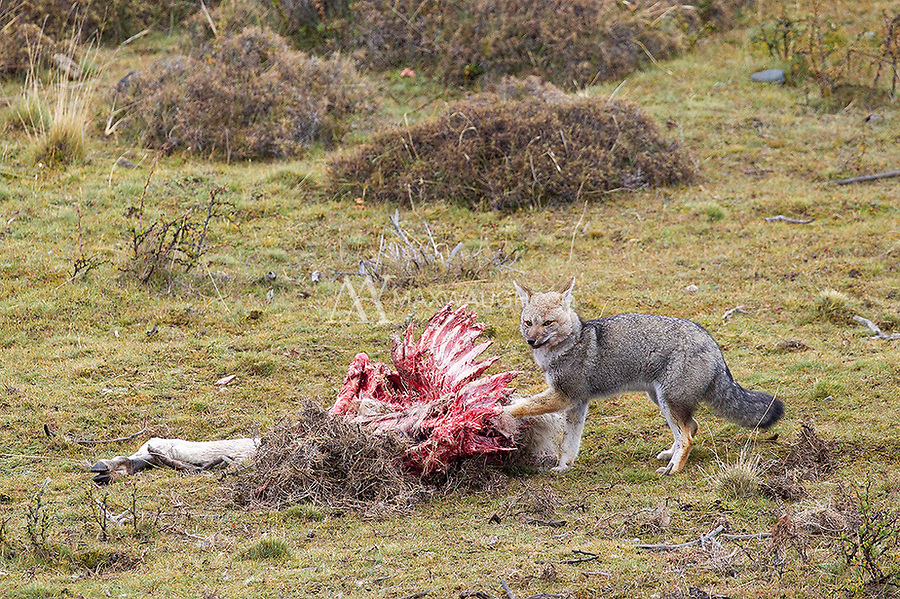 A gray fox scavenges a guanaco carcass.