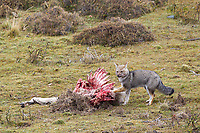 A gray fox scavenges a guanaco carcass.