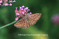 03633-001.07 Horace's Duskywing (Erynnis horatius) on Verbena bonariensis  Marion Co. IL