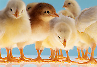 Group of chicks