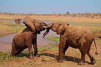 "Young ""teenage"" African Elephants (Loxodonta africana) play sparring.  Matusadona National Park, Zimbabwe, Africa.  Sept."