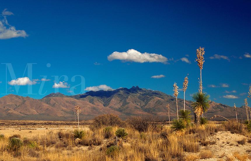 Yucca plants and native grasses in a Dos Cabezas Mountain desert landscape. Arizona.