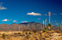 Yucca plants and native grasses in a Dos Cabezas Mountain desert landscape. Arizona.