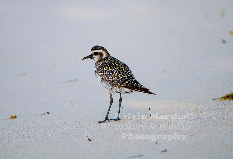Pacific golden plover (Pluvialis fulva) is a medium-sized plover. The 23–26 cm long breeding adult is spotted gold and black on the crown, back and wings. Its face and neck are black with a white border and it has a black breast and a dark rump. The legs are black. In winter, the black is lost and the plover then has a yellowish face and breast, and white underparts. Green Island, Far - North Queensland.