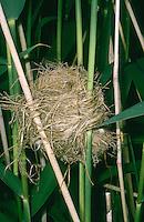 Drosselrohrsänger, Nest, Napfnest zwischen Schilfhalmen aufgehängt, Drossel-Rohrsänger, Rohrsänger, Acrocephalus arundinaceus, great reed warbler