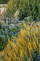 Ambrosia dumosa, Burrobush or Burro Weed, White Bursage, yellow flowering shrub California native plant Anza Borrego State Park