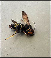 Asian Hornet threat to Britain.