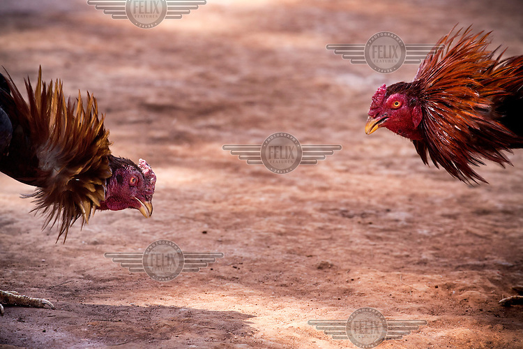 Two cocks fighting.