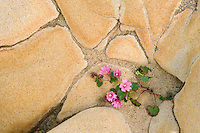 Pink Wildflower growing in sandstone formation. Salt Point State Park. California
