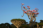 .Adenium blooming and dragon's blood tree on the Diksam plateau. Socotra. Yemen