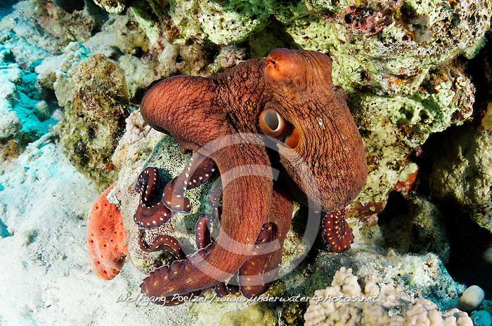 Callistoctopus macropus, Weissgefleckter Oktopus, Langarm Krake, White spotted octopus, Hurghada, Insel Giftun Riff, Rotes Meer, Ägytpen, Giftun Island Reef, Red Sea, Egypt