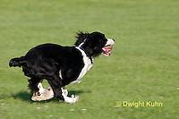 SH25-807z English Springer Spaniel Dog running