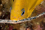 Golden damselfish (Amblyglyphidodon aureus) tending eggs on a whip coral