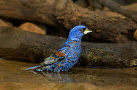 538680032 a wild male blue grosbeak guiaca careula bathes in a small pond on a private ranch in the rio grande valley of south texas