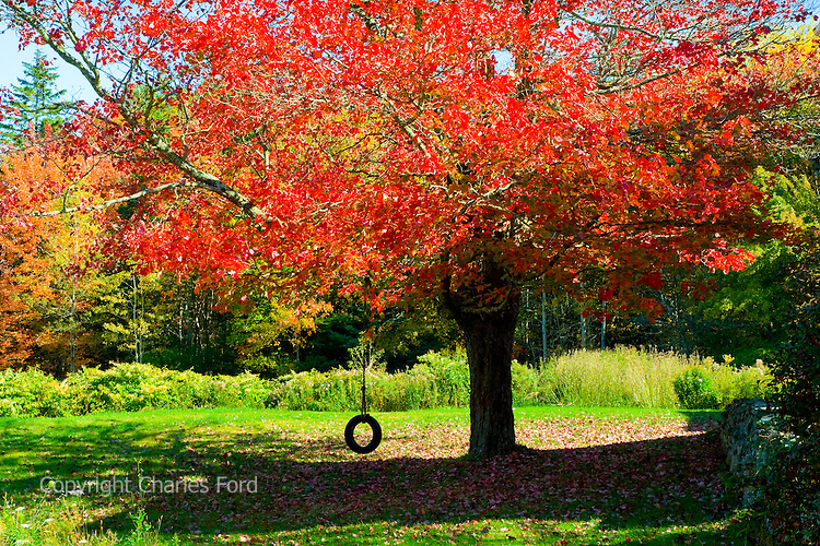 Tire swing hanging from tree ablaze with fall colors.  Near New Harbor, Maine.
