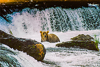 An Alaskan Brown Bear comes up for a breath after diving for salmon below Brooks Falls in Katmai National Park, Alaska.