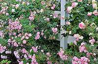 Tropical Twist Miniature Rose and larger Eden Rose on fence at Heirloom Gardens, St. Paul, Oregeon