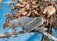 MA23-504z  Gray Squirrel at Nest in the tree branches, Sciurus carolinensis