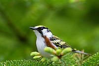 chestnut-sided warbler, Setophaga pensylvanica, Nova Scotia, Canada