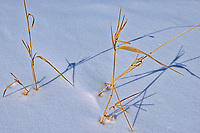 Grasses in snow<br />