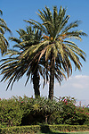 Date palms, Phoenix dactylifera, on the grounds of the Church of the Beatitudes near Tabgha and Capernaum on the Sea of Galilee in Israel.