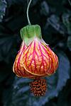 Flores. Lanterna-chinesa, campainha ( Abutilon striatum). SP. Foto de Manuel Lourenço.