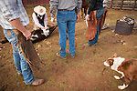 Calf marking at the Wooster Ranch, Red Barn, Calaveras County, Calif.