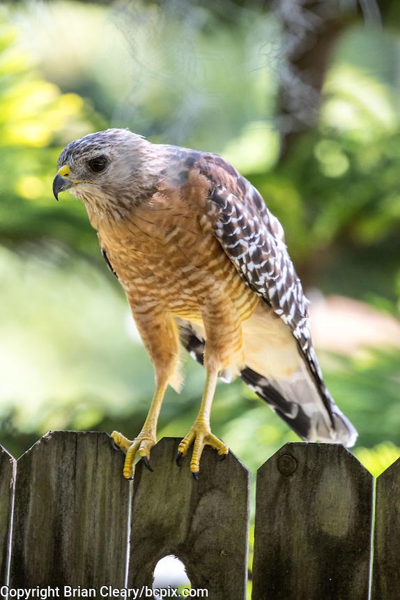 A Hawk in a Holly Hill, Fl backyard in July 2016. (Photo by Brian Cleary/ www.bcpix.com )