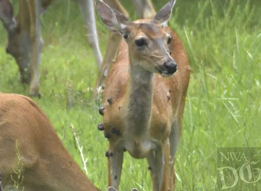 """Courtesy photo/ARKANSAS GAME AND FISH COMMISSION<br />Deer with """"warts"""" cause hunters concern."""
