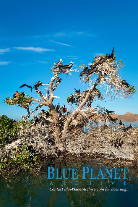 magnificent frigatebird, Fregata magnificens, male, female and juvenile, on tree, breeding colony, Baja California, Mexico, Gulf of California, Sea of Cortez, Pacific Ocean