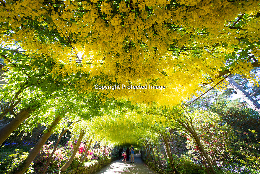 15/05/19<br /> <br /> <br /> Chris and Val Merrick admire the Laburnum Arch.<br /> <br /> Blooming two weeks earlier than normal, the UK's longest and oldest Laburnum arch has bust into flower at the National Trust's Bodnant Garden near Conwy, North Wales.<br /> <br /> The 180 ft long arch is made from 64 plants. In January two of Bodnant's gardeners train the news shoots tying them to the metal frame using 20,000 pieces of string, with all the knots facing the same direction - a job that takes three to four weeks. <br /> <br /> Then it takes two weeks for them to deadhead after flowering finishes in late June before another four to six weeks pruning in winter.<br /> <br /> The laburnum arch is the most visited, photographed, Facebooked and 'selfied' feature of Bodnant Garden – with around 50,000 visitors in the 3 weeks it's in flower.<br /> <br /> It normally flowers late May into early June. Like other plants it's early this year. It started to flower late April (Easter weekend) – a month early – then stalled, and has now started again. <br /> <br /> The yellow spring spectacle was created by garden owner Henry Pochin in 1880.<br /> All Rights Reserved, F Stop Press Ltd +44 (0)7765 242650  www.fstoppress.com rod@fstoppress.com