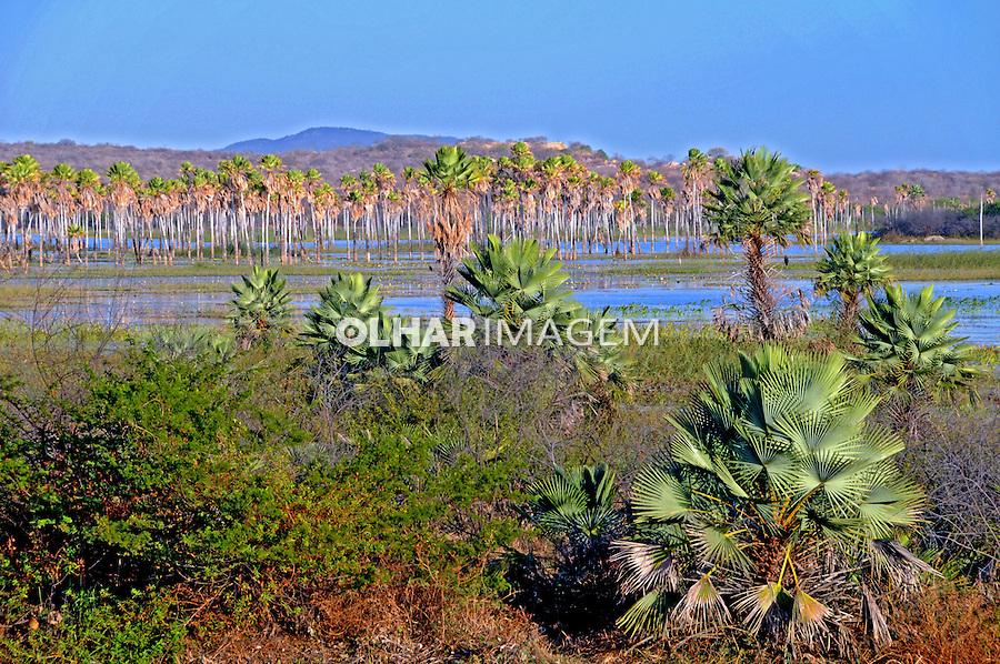 Árvores Carnauba em  campo alagado. Parú. Rio Grande do Norte. 2009. Foto de Zig Koch.