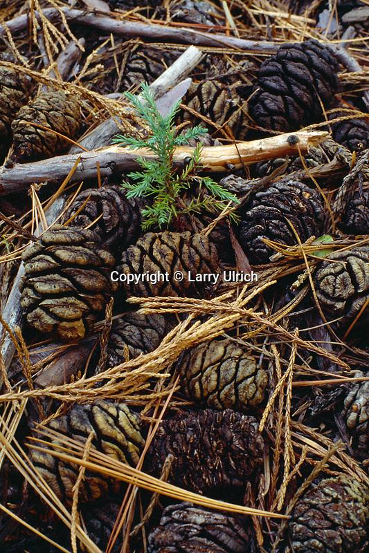 Giant sequoia seedling<br /> Sequoia National Park<br /> Sierra Nevada<br /> California