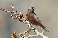Gray-crowned Rosy-Finch - Leucosticte tephrocotis - Adult male non-breeding