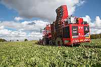Harvesting sugar beet for period 1 delivery to Wissington sugar beet factory - September, Lincolnshire