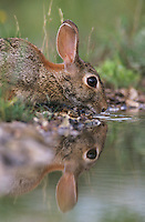 Eastern Cottontail, Sylvilagus floridanus, adult drinking, Lake Corpus Christi, Texas, USA