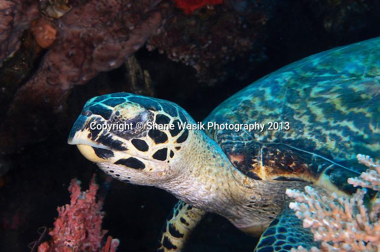 Sleepy turtle on Alam Anda's house reef