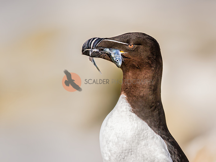 Close view of a Razorbill with a fish in it's beak