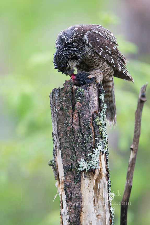 Northern Hawk Owls often have specific perches they use to prepare food before delivery.