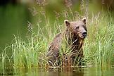 USA, Alaska, grizzly bear in Big River Lake, Redoubt Bay