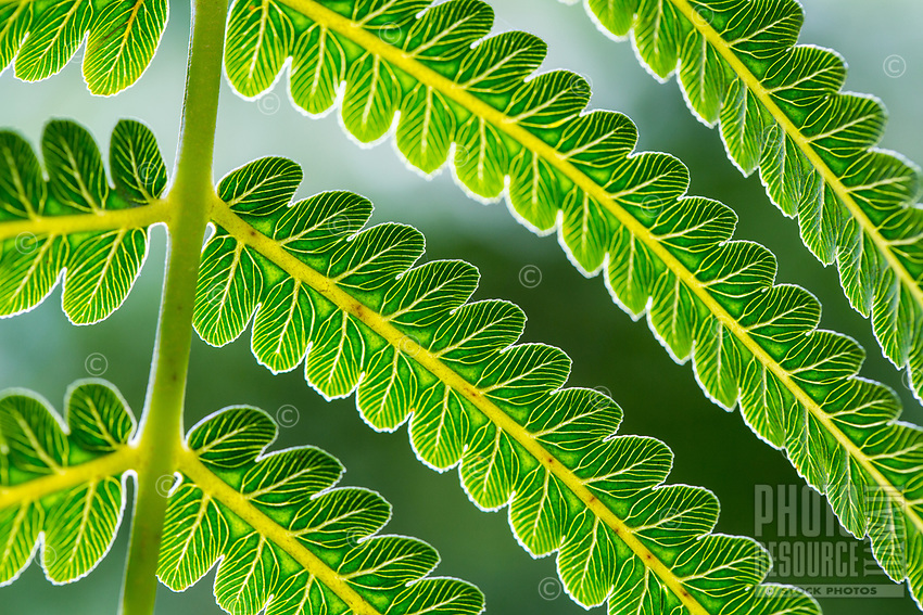 A close-up, detailed view of a fern frond, Limahuli Garden and Preserve, Kaua'i.