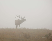 Bull Elk in the fog in Rocky Mountain National Park, Colorado
