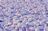 Snow Goose, Chen caerulescens, flock resting, Bosque del Apache National Wildlife Refuge , New Mexico, USA