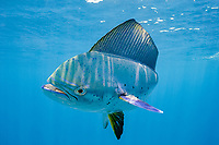 dorado, mahimahi, mahi-mahi, dolphinfish, or dolphin-fish, Coryphaena hippurus, off Isla Mujeres, near Cancun, Yucatan Peninsula, Mexico (Caribbean Sea) (de)