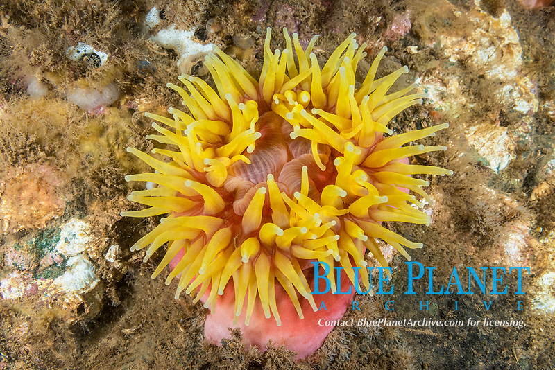 Northern Red Anemone, (Urticina felina), with yellow tentacles, Eastport, Maine, USA, Atlantic Ocean