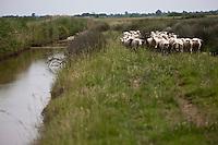 Europe/France/Aquitaine/33/Gironde/Anglade: Elevage de moutons chez Thierry et France Delottier, Moutonniers de l'Estuaire - Agneaux de l'Estuaire - Troupeau dans le Marais du Blayais