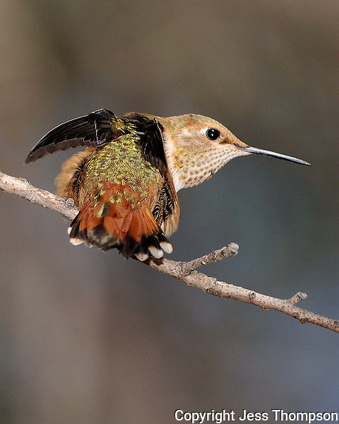 Rufous Hummingbird in Southeastern Arizona