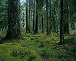 Hoh rain forest moss laden trees lush green foliage Olympic Penninsula Washington State USA