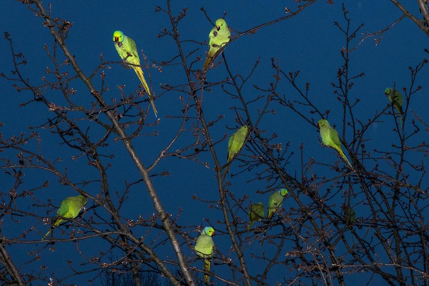 Nederland, Amsterdam, 20180219<br /> Parkieten in de bomen voor Kleiburg.<br /> Halsbandparkieten<br /> <br /> Foto: (c) Michiel Wijnbergh